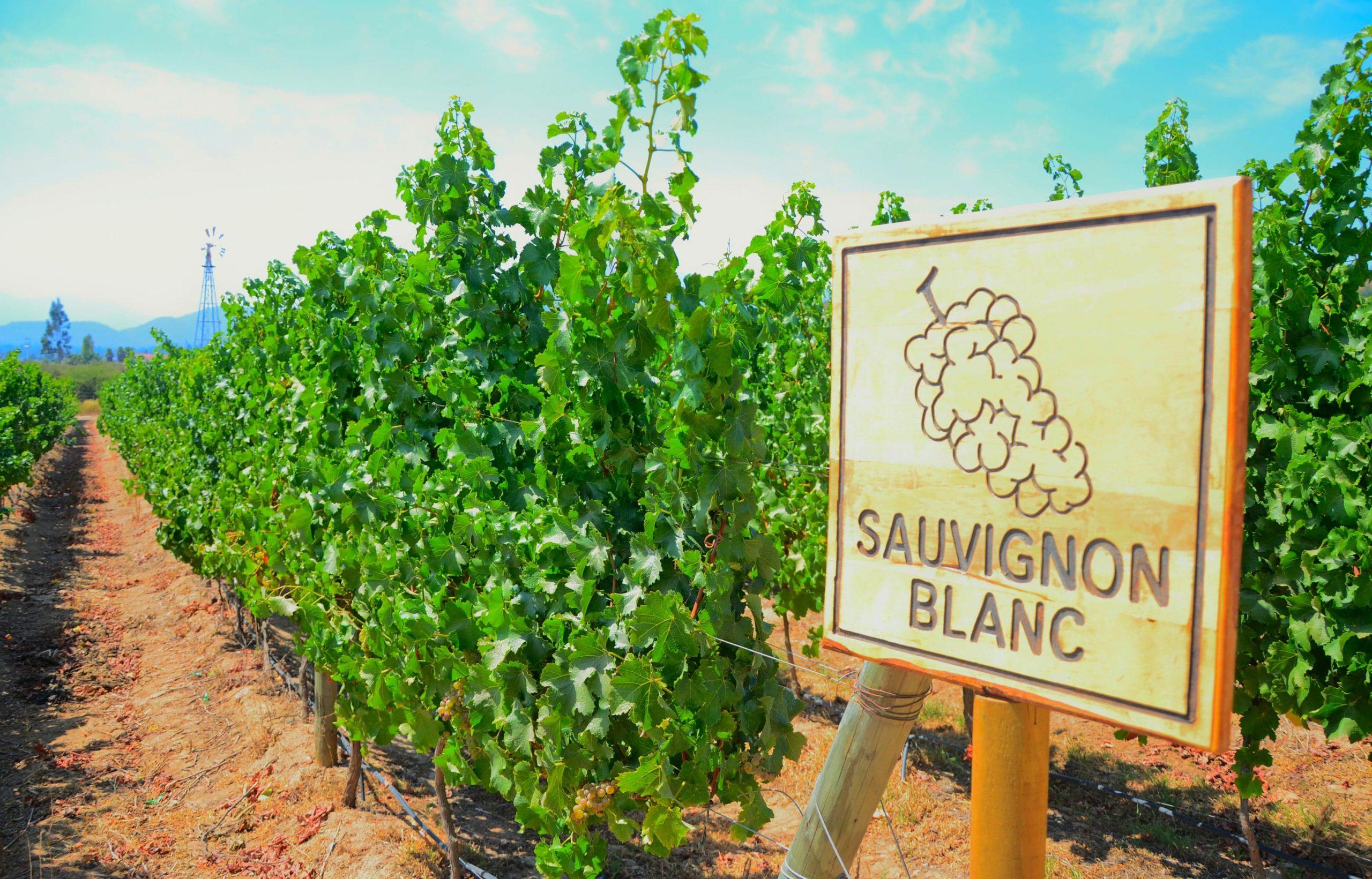 Sauvignon Blanc Guide