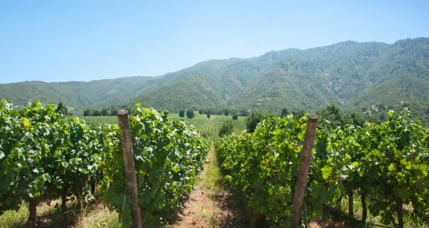 Carmenere grape guide