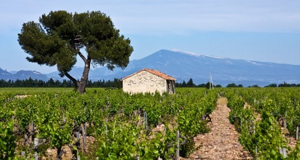Cotes de provence vineyards