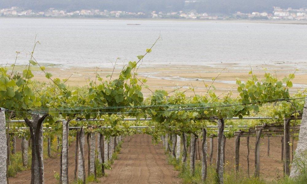 albarino wine - galicia vineyard
