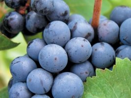 cabernet franc grape variety wine