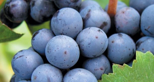 cabernet franc grape variety wine
